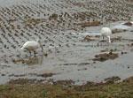 冬季潅水不耕農法で米をつくる菅原さんの田んぼ