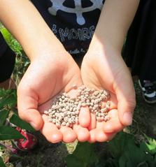 サツマイモにあげた肥料