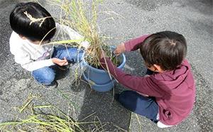 バケツ稲で稲刈り