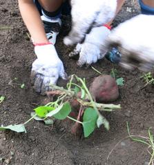 土から顔を出したサツマイモ