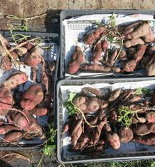 たくさん穫れたサツマイモ