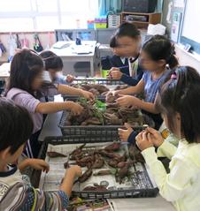 教室でもサツマイモに興味津々です