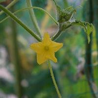 わたしたちは、野菜の根・くき・葉・花・実のどの部分を食べているのかな?【食と命】[小3・理科]