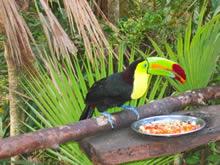 ベリーズの国鳥、トゥーカン。 動物園で撮影した1枚。 山に行けば野生のものが見られる。