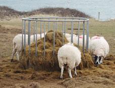 のどかなアイルランドでよく見かける羊たちの食事風景。羊の毛が赤いのは、目印用の染料。怪我をしているわけではないのでご安心を。